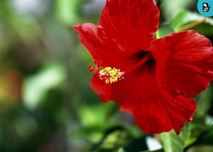 hibiscus healthbeautybee